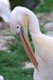 Pelicano que preening Fotos de Stock Royalty Free