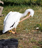 Pelicano que prepara-se Foto de Stock Royalty Free