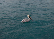 Pelicano que senta-se na água do oceano Fotos de Stock