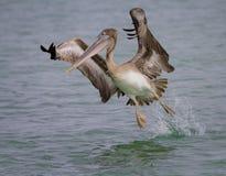 Pelicano que toma o voo imagens de stock royalty free