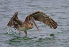 Pelicano que toma o voo fotos de stock