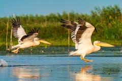 Pelicano que voa sobre a água no nascer do sol no delta de Danúbio Imagens de Stock