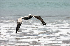 Pelicano que voa sobre a linha da ressaca Imagens de Stock