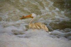 Pelicano solitário na água de Turbulant Fotografia de Stock