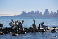 Pelicanos à sombra de San Francisco Foto de Stock Royalty Free