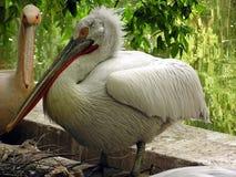 Pelicanos Fotos de Stock Royalty Free