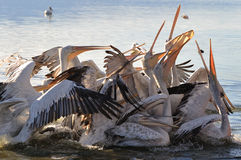 Pelicanos Fotografia de Stock Royalty Free
