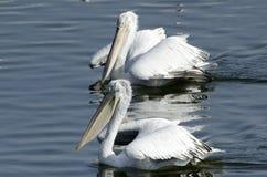 Pelicanos Foto de Stock