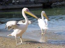 Pelicanos fotos de stock