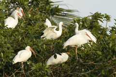 Pelicanos Imagens de Stock