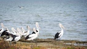 Pelicanos Imagem de Stock Royalty Free