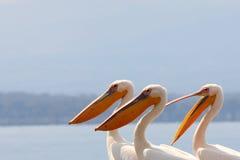 Pelicanos Fotografia de Stock