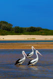 3 pelicanos Fotografia de Stock Royalty Free