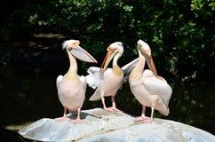 Pelicanos após comer Fotografia de Stock Royalty Free