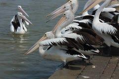 Pelicanos aproximadamente a nadar Imagens de Stock Royalty Free