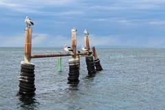Pelicanos australianos Imagem de Stock