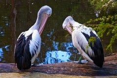 Pelicanos australianos no lago Imagem de Stock