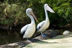 Pelicanos australianos no lago Fotos de Stock Royalty Free