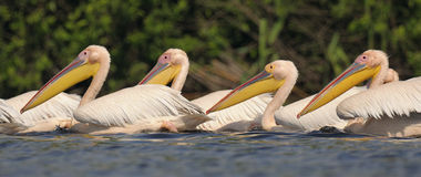 Pelicanos brancos Fotografia de Stock