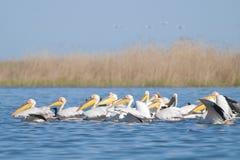 Pelicanos brancos Fotos de Stock