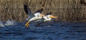 Pelicanos brancos americanos Fotos de Stock Royalty Free