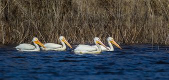 Pelicanos brancos americanos Fotografia de Stock