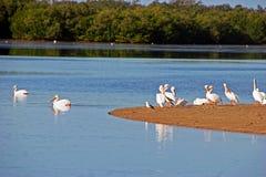 Pelicanos brancos americanos Fotografia de Stock Royalty Free