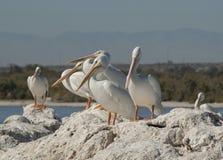 Pelicanos brancos americanos Imagem de Stock Royalty Free