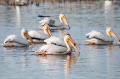 Pelicanos brancos americanos Imagens de Stock Royalty Free