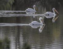 Pelicanos brancos americanos Foto de Stock Royalty Free