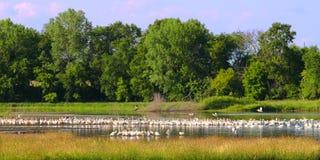 Pelicanos brancos americanos em Illinois Imagens de Stock