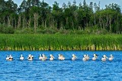 Pelicanos brancos americanos em seguido no lago em Minnesota Foto de Stock