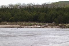 Pelicanos brancos americanos em voo sobre o Niobrara Nebraska imagem de stock