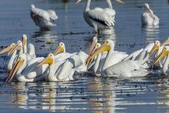 Pelicanos brancos americanos que nadam Imagem de Stock Royalty Free