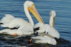 Pelicanos brancos americanos que nadam perto acima Fotos de Stock Royalty Free