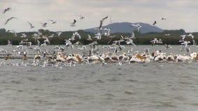 Pelicanos brancos e marrons no delta de Danúbio em Romênia