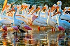 Pelicanos brancos e Spoonbills Fotos de Stock Royalty Free