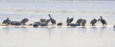 Pelicanos brancos efervescentes Foto de Stock