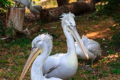 Pelicanos brancos grandes entre árvores Imagens de Stock