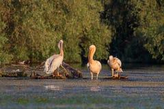 Pelicanos brancos no delta de Danúbio, Romênia Foto de Stock