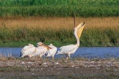 Pelicanos brancos no delta de Danúbio, Romênia fotografia de stock royalty free