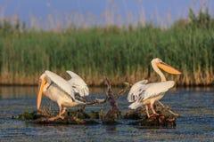 Pelicanos brancos no delta de Danúbio, Romênia Fotos de Stock