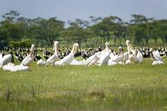 Pelicanos brancos no lago Naivasha, grande Rift Valley, Kenya, África Foto de Stock Royalty Free