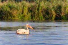 Pelicanos brancos (onocrotalus do pelecanus) Fotografia de Stock Royalty Free