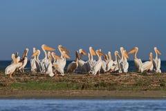 Pelicanos brancos (onocrotalus do pelecanus) Fotografia de Stock