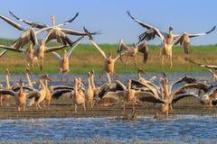 Pelicanos brancos (onocrotalus do pelecanus) Imagens de Stock