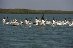 Pelicanos brancos que tomam o vôo sobre o oceano Fotografia de Stock