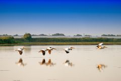 Pelicanos brancos que voam (onocrotalus do Pelecanus) no Ro do delta de Danúbio Foto de Stock