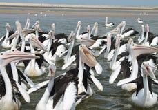 Pelicanos com fome Fotos de Stock Royalty Free