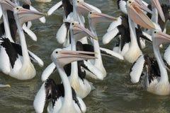 Rebanho com fome do pelicano Foto de Stock Royalty Free
